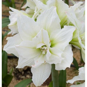 HIPPEASTRUM-white flower - PlantsToday