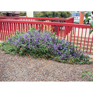 Hardenbergia Happy Wanderer / Purple Vine Lilac - PlantsToday