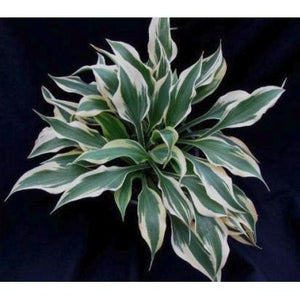 Hosta Star Bright - Hosta 'Dark Star' - PlantsToday