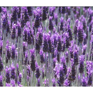 Lavender Dentata – French Lavender - PlantsToday