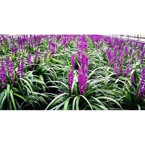 Liriope Royal Purple — Lily Turf - PlantsToday