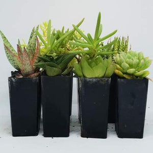 8 Pack Of Mixed Succulents - PlantsToday