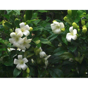 Murraya Min a Min  - Dwarf Orange Jessamine/ Dwarf Mock Orange/ Dwarf Cosmetic Bark Tree - PlantsToday