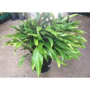 Philodendron Little Phil 180mm - PlantsToday
