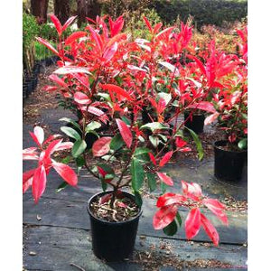 Photinia Robusta - Red Leaf Photinia - PlantsToday