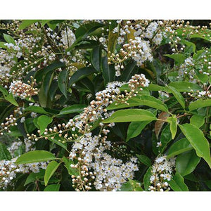 Prunus Lusitanica - Portugal Laurel, Cherry Bay - PlantsToday