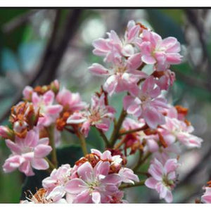Rhaphiolepis Apple Blossom – Rhaphiolepis Delacouri - PlantsToday