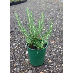 Rosemary Blue Lagoon - Rosmarinus Officinalis - PlantsToday