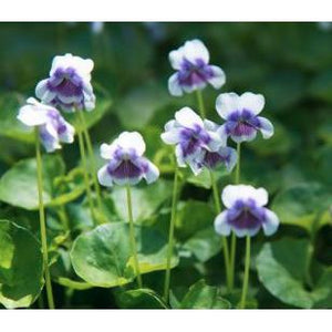 Viola Hederacea – Native Violet - PlantsToday