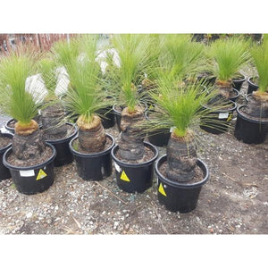 Xanthorrhoea johnsonii LM 101-110cm multi trunk - PlantsToday