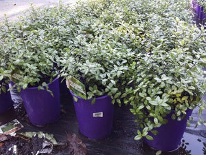 Pittosporum tenuifolium Golf Ball 200 mm