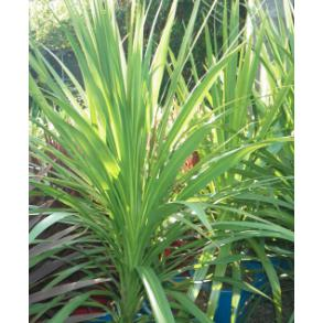 Cordyline Green Spice – Cordyline - PlantsToday