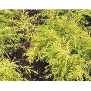 Melaleuca Revolution Gold — Honey Myrtle - PlantsToday