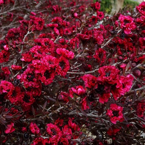 Leptospermum Burgundy Queen - PlantsToday