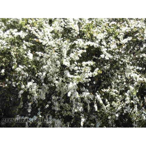 Leptospermum Cardwell - White Tea Tree - PlantsToday