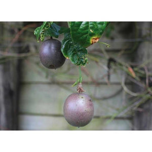 Passionfruit Black – Passion Fruit - PlantsToday