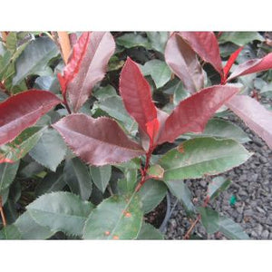 Photinia Black Jack(PBR)  —  Black Jack Photinia - PlantsToday