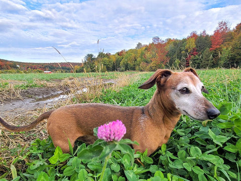The best time of year for a late afternoon walk with the dogs is during fall foliage. Its generally a comfortable temperature and the colors are brilliant.