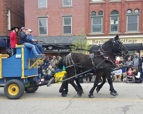 Two black horses pulling a parade float during the Vermont Maple Festival.