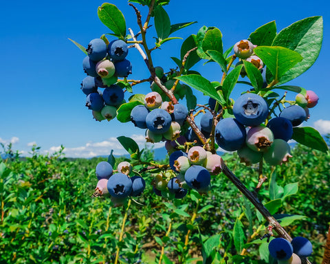 Blueberries growing on a farm.