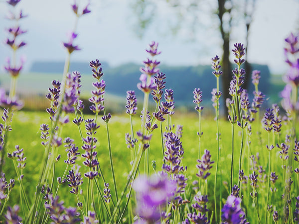 Field of lavender flowers with blurred background