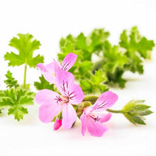 Load image into Gallery viewer, Rose Geranium Pure Essential Oil