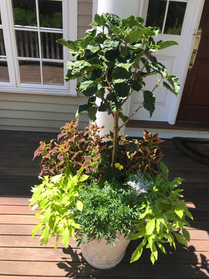 Summer Potted Garden with Sweet Potatoes and Tree