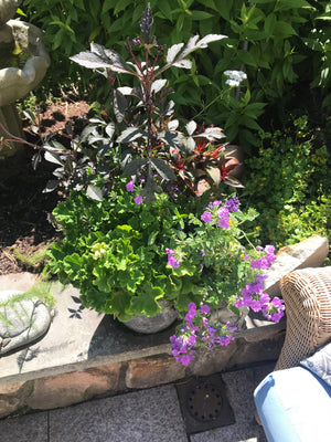 Summer Container Garden with Geraniums