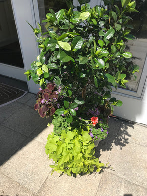 Summer Container Garden with Gardenia Treee
