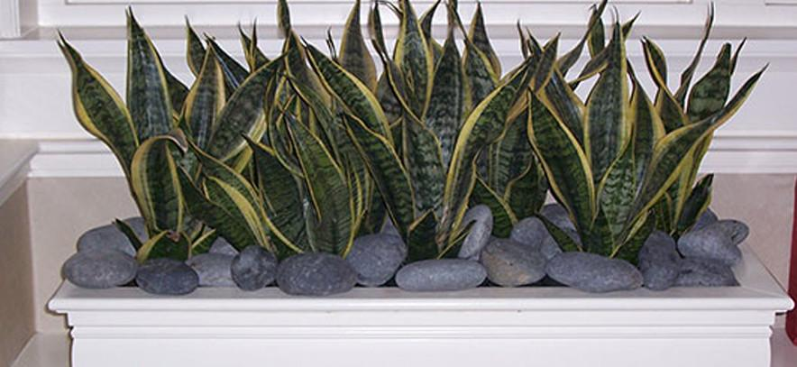 Corporate Indoor Snake Plant Planter with River Stones
