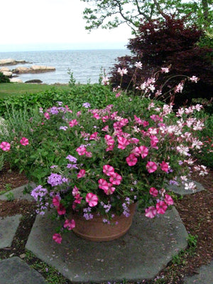 Potted Petunias in Outdoor Patio Swampscott MA
