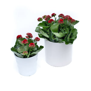 Kalanchoe with pot