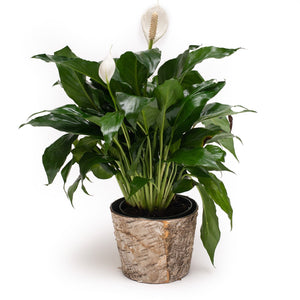 "Spathiphyllum (""Peace Lily"")"