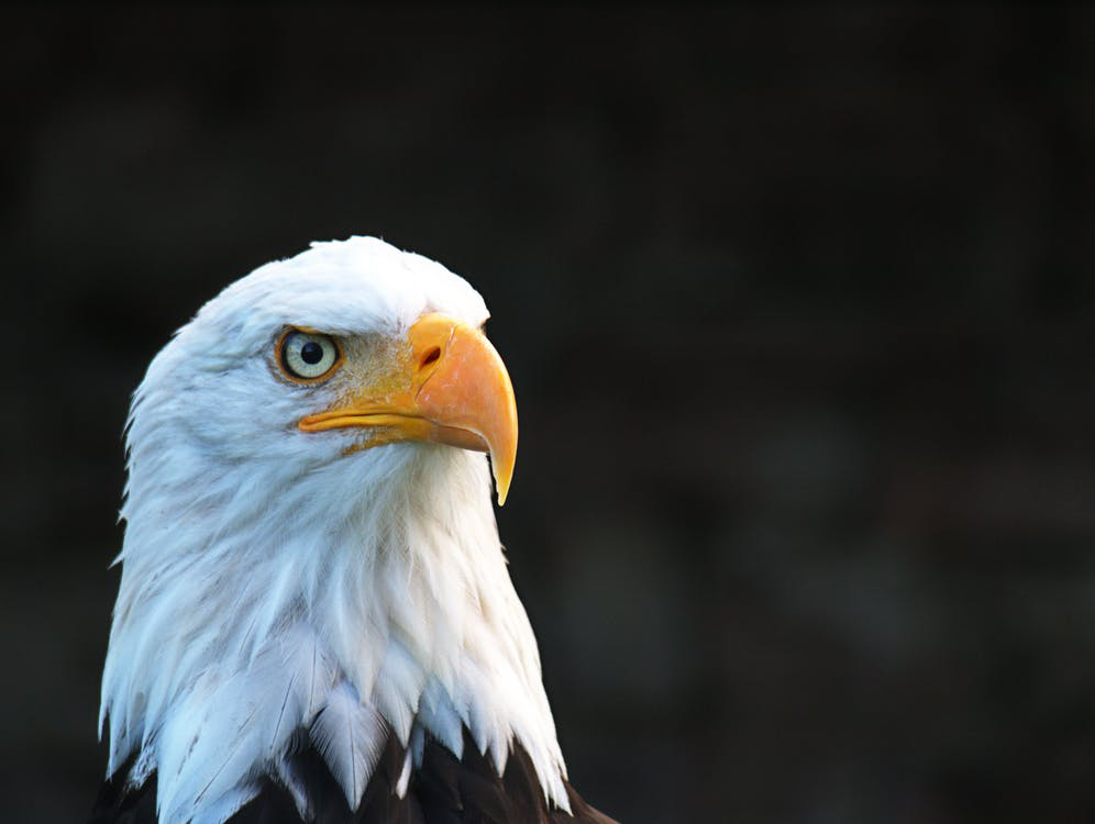 4 Reasons the Mighty Bald Eagle is the Perfect Emblem for the U.S.