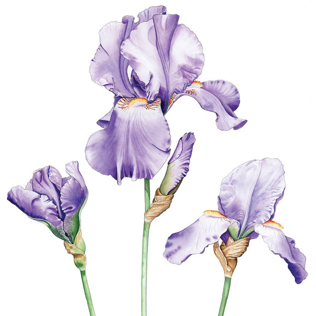 Irises Greeting Card and Gift by Denise Schoenberg