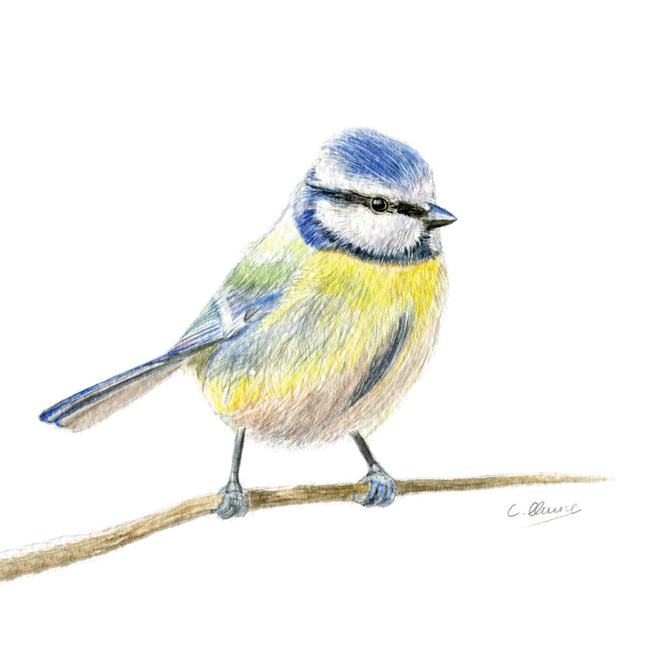 Little Blue-tit Greeting Card and Gift by Christina Quine