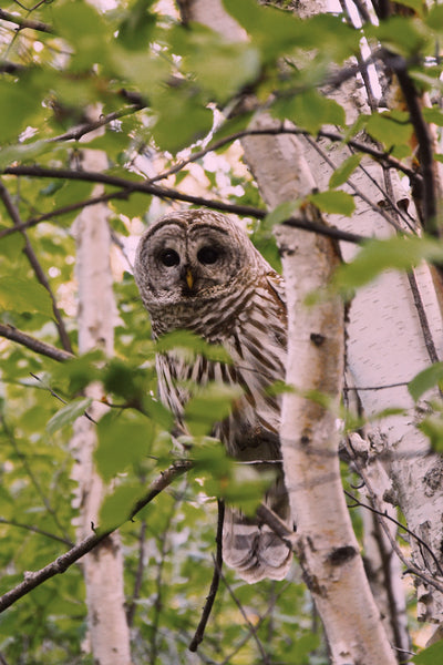 the return of our friendly backyard barred owl family