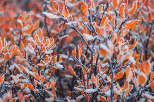 Frosted Colorado Fall Colors - Alterned North - Photo Print