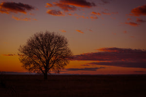 Solo Tree at Sunset - Alterned North - Metal Print