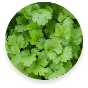 Coriander | Eatoo UK