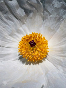 Texas Prickly Poppy (1)