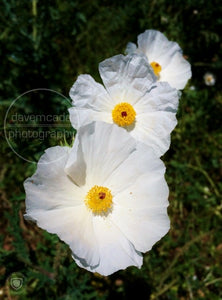 Texas Prickly Poppy (3)