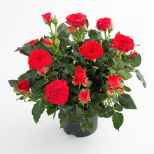 Load image into Gallery viewer, 100 Pcs/Bag Mini Rose Bonsai