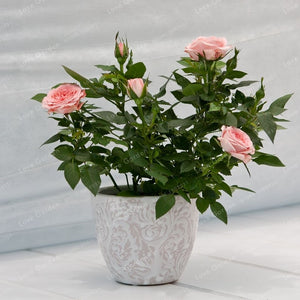100 Pcs/Bag Mini Rose Bonsai