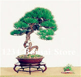 50 Pcs Juniper Bonsai Tree