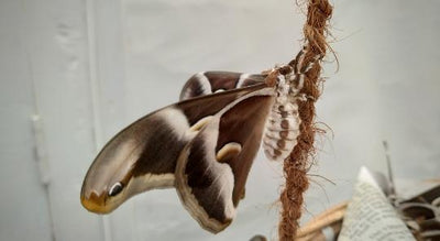 Little Known Shocking Fact About Silk Moths