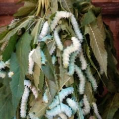 Eri silkworms are formed