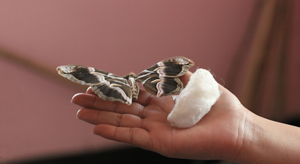 Eri silk cocoon pictured with an eri silk moth, Eri silk is the most sustainable silk | Muezart