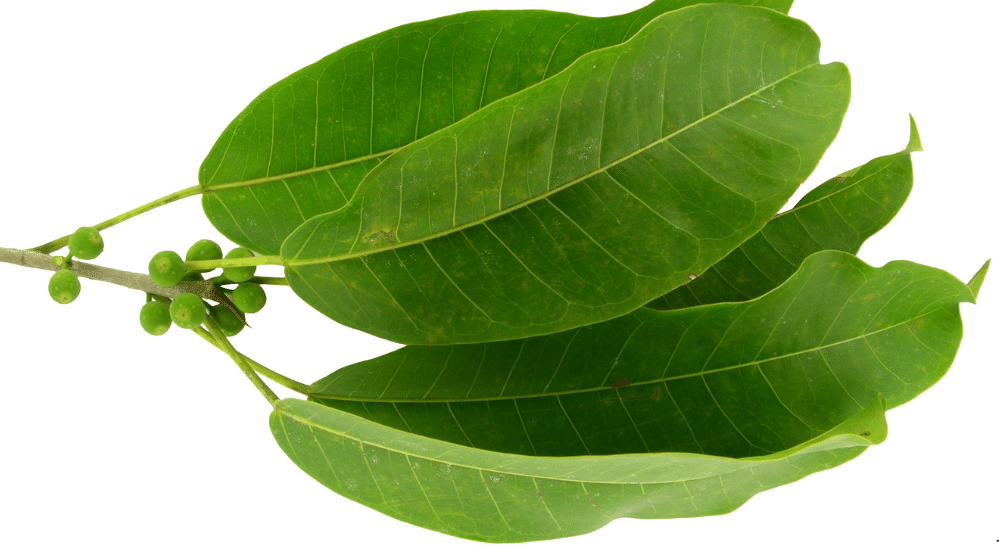 Ficus Citrifolia leaves | Muezart