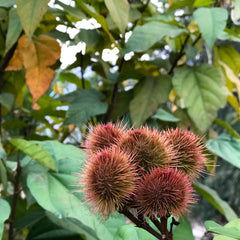 annatto plant with seeds for plant-based dyeing